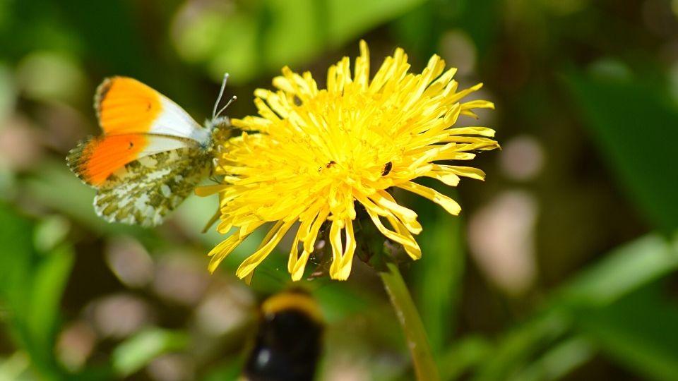 Nature Xavière l'Aventurière papillon